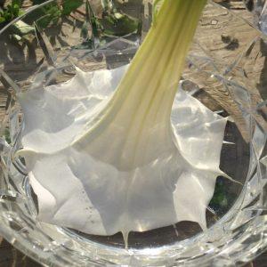 Datura Inoxia Flower Essence