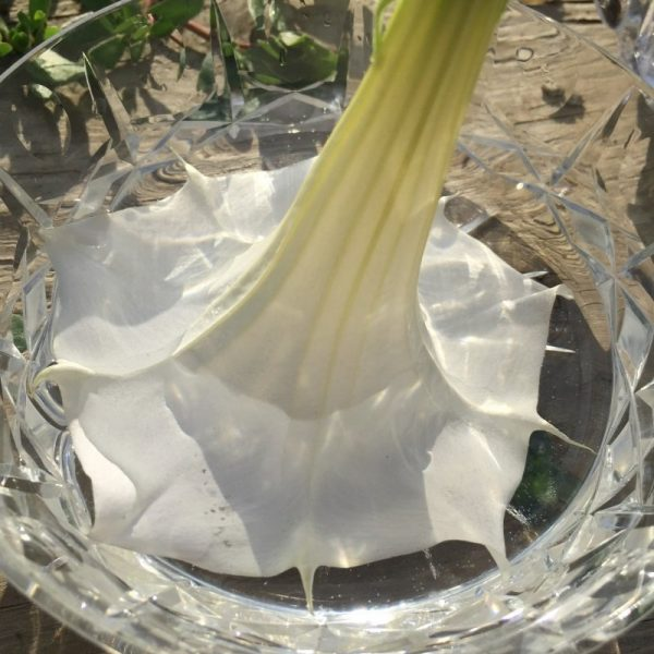 making-datura-flower-essence