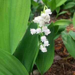 Lily of the Valley Flower Essence