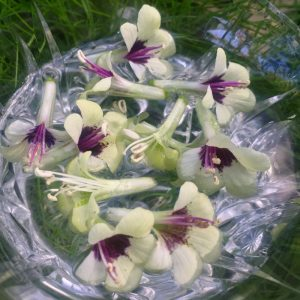 White Henbane Flower Essence