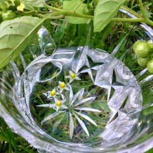 Black Nightshade Flower Essence