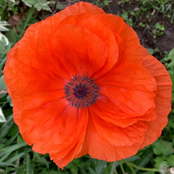 red-poppy-flower