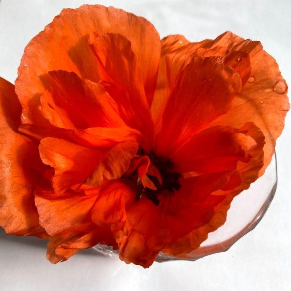 red-poppy-flower-essence