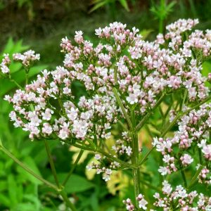 valerian-flowers